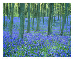 carpet of blue flowers in forest