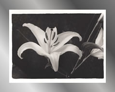 steelfoil lily